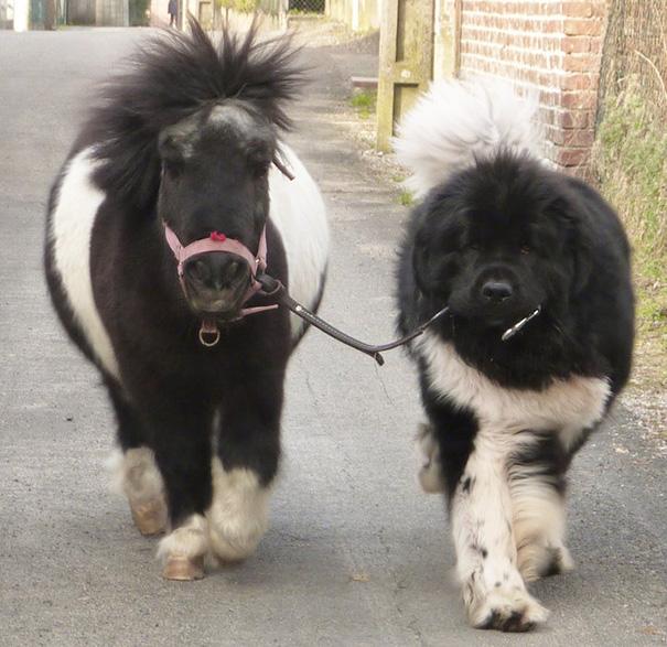 Esses mini cavalos são as criaturas mais fofas do mundo (10)