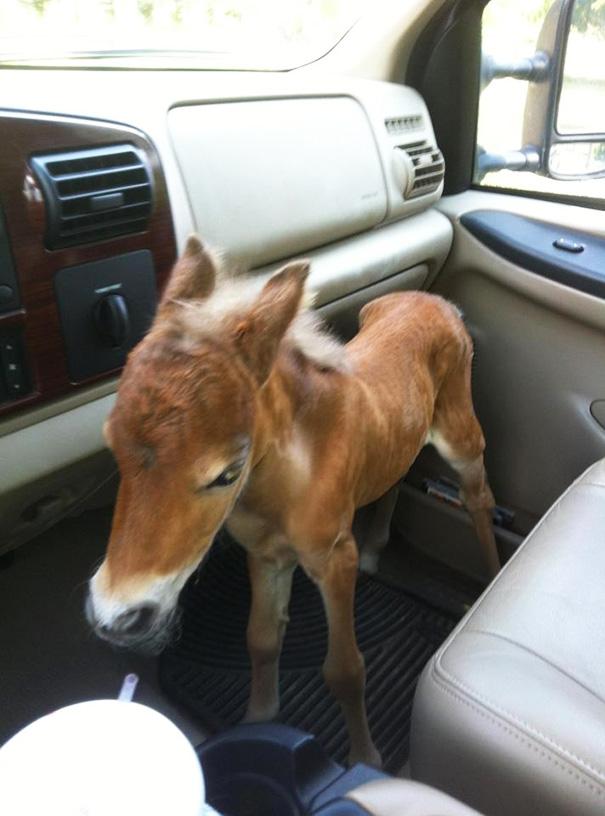 Esses mini cavalos são as criaturas mais fofas do mundo (2)