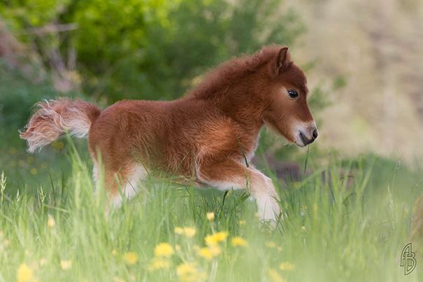 Esses mini cavalos são as criaturas mais fofas do mundo (9)