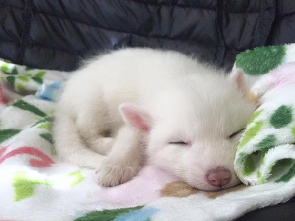 Esta é a bebê raposa mais dorminhoca de todas (12)