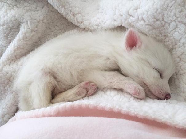 Esta é a bebê raposa mais dorminhoca de todas (7)