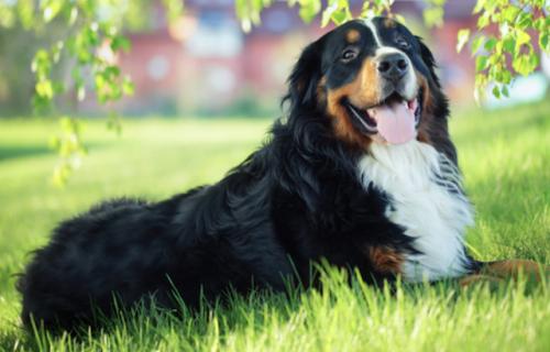 raças-de-cachorros-grandes-e-doceis (1)