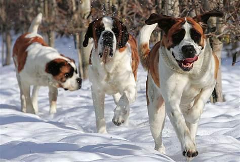 11 raças de cachorros grandes e dóceis