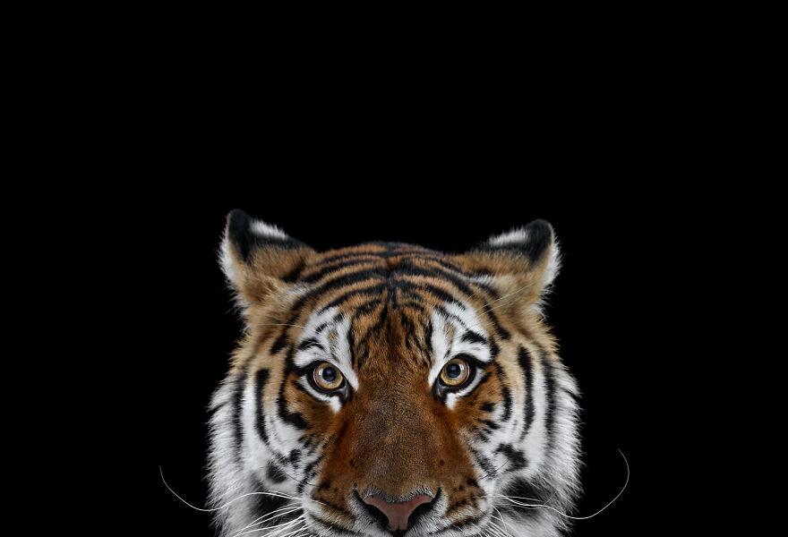 Animais exóticos olhando diretamente para a câmera (13)