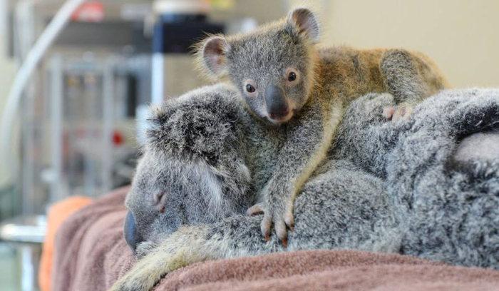 Bebê-coala-abraça-a-mãe-durante-uma-cirurgia (1)
