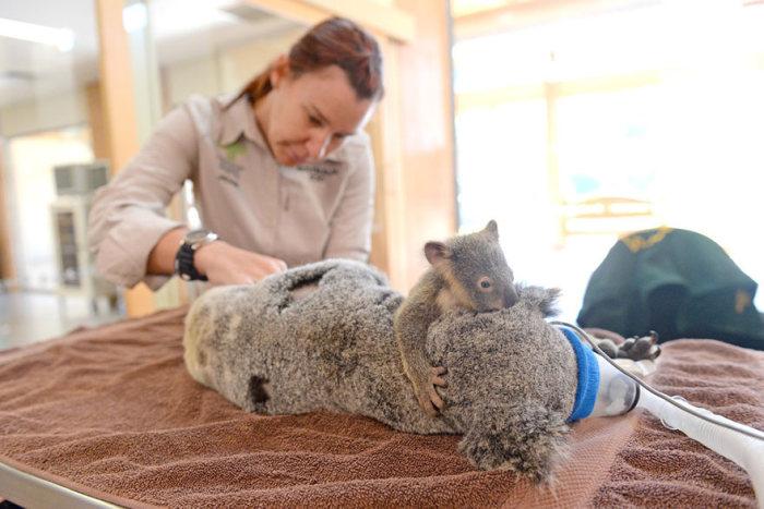 Bebê-coala-abraça-a-mãe-durante-uma-cirurgia (2)