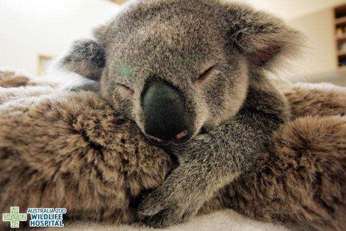 Bebê-coala-abraça-a-mãe-durante-uma-cirurgia (3)