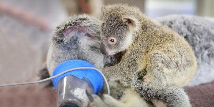 Bebê-coala-abraça-a-mãe-durante-uma-cirurgia (4)