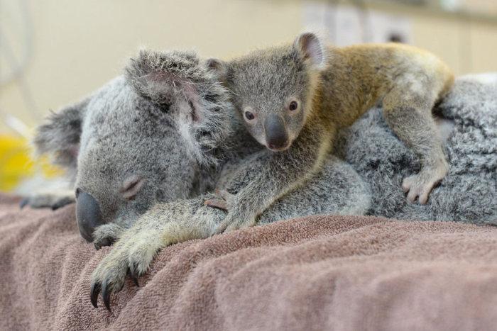Bebê coala abraça a mãe durante uma cirurgia para salvá-la