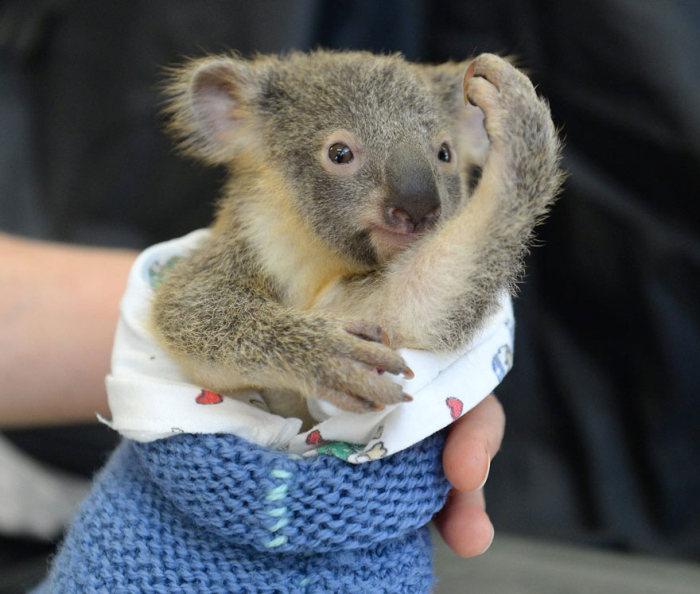 Bebê-coala-abraça-a-mãe-durante-uma-cirurgia (6)