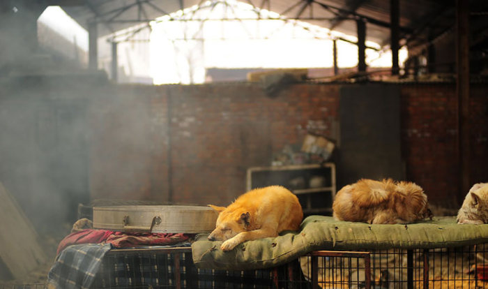 Chinesa viaja 2.500 km para salvar cães de festival de carne de cachorro (10)
