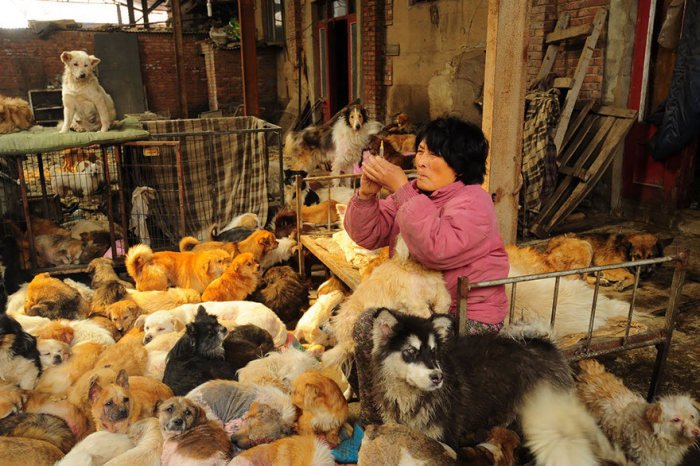 Chinesa viaja 2.500 km para salvar cães de festival de carne de cachorro (11)