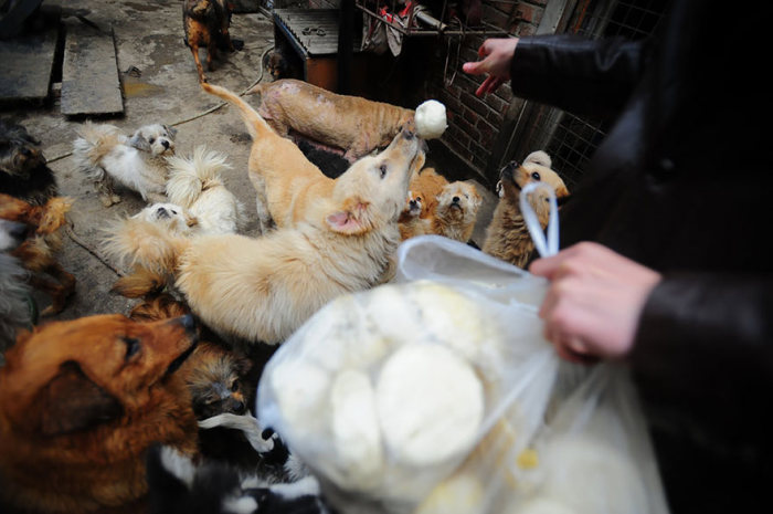 Chinesa viaja 2.500 km para salvar cães de festival de carne de cachorro (6)