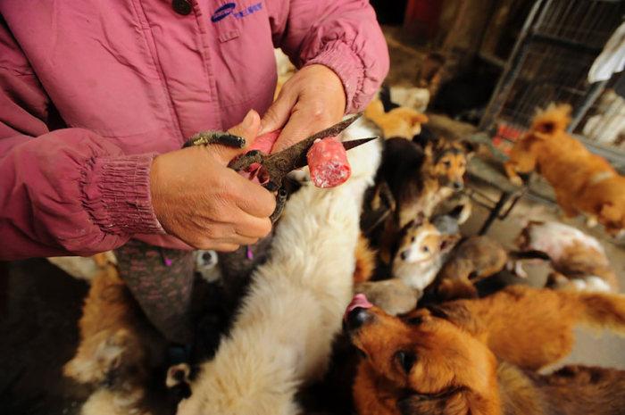 Chinesa viaja 2.500 km para salvar cães de festival de carne de cachorro (7)