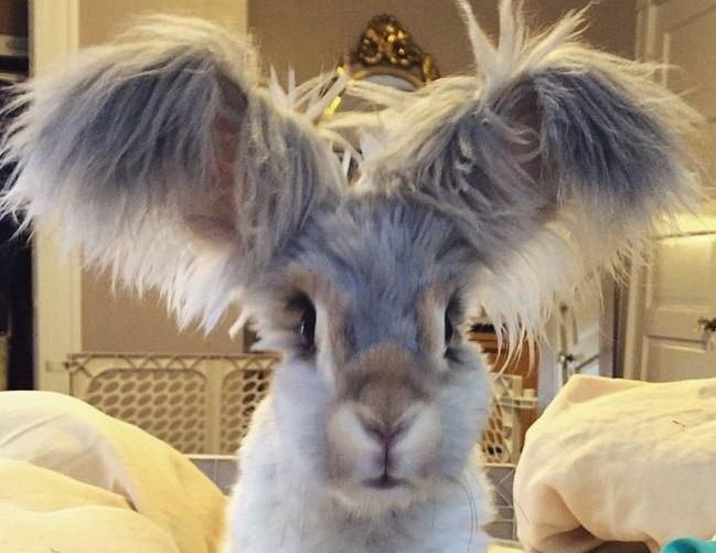 Conheça Wally, o coelho de orelhas gigantes que se parecem com asas