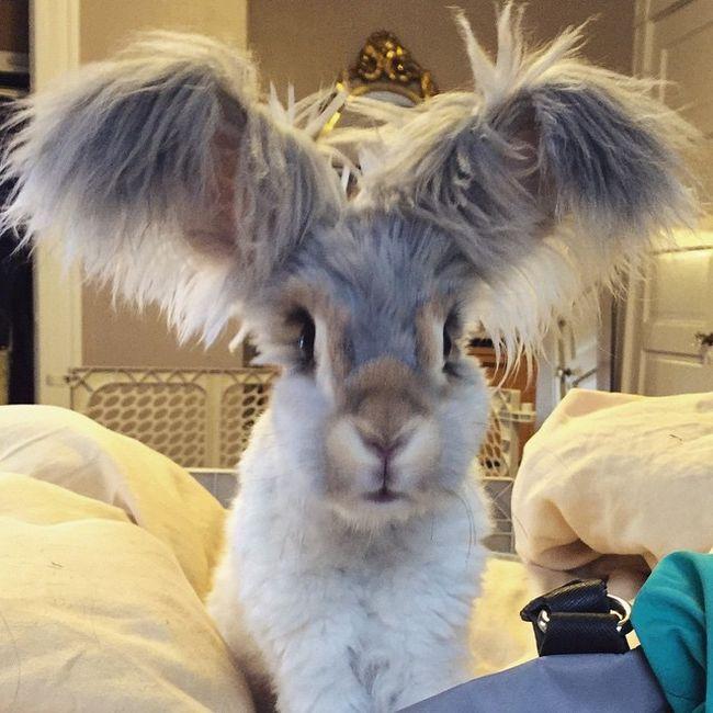 coelho-de-orelhas-gigantes (5)