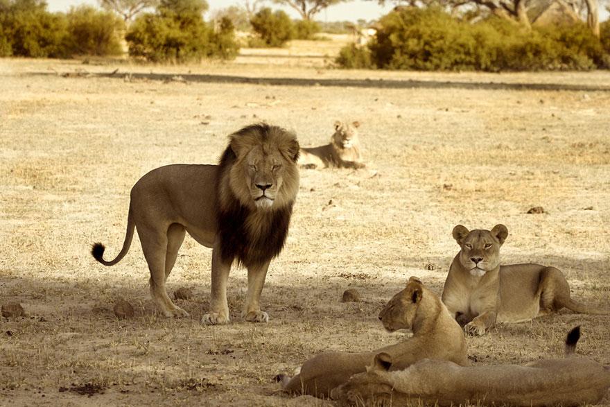 A morte de Cecil - o Famoso Leão do Zimbabwe (1)