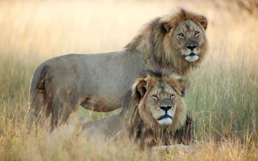 A morte de Cecil - o Famoso Leão do Zimbabwe (2)