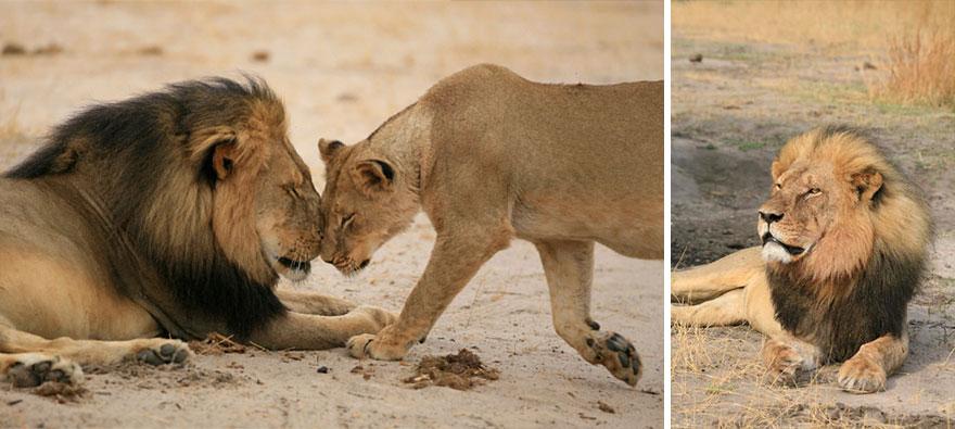 A morte de Cecil - o Famoso Leão do Zimbabwe (4)