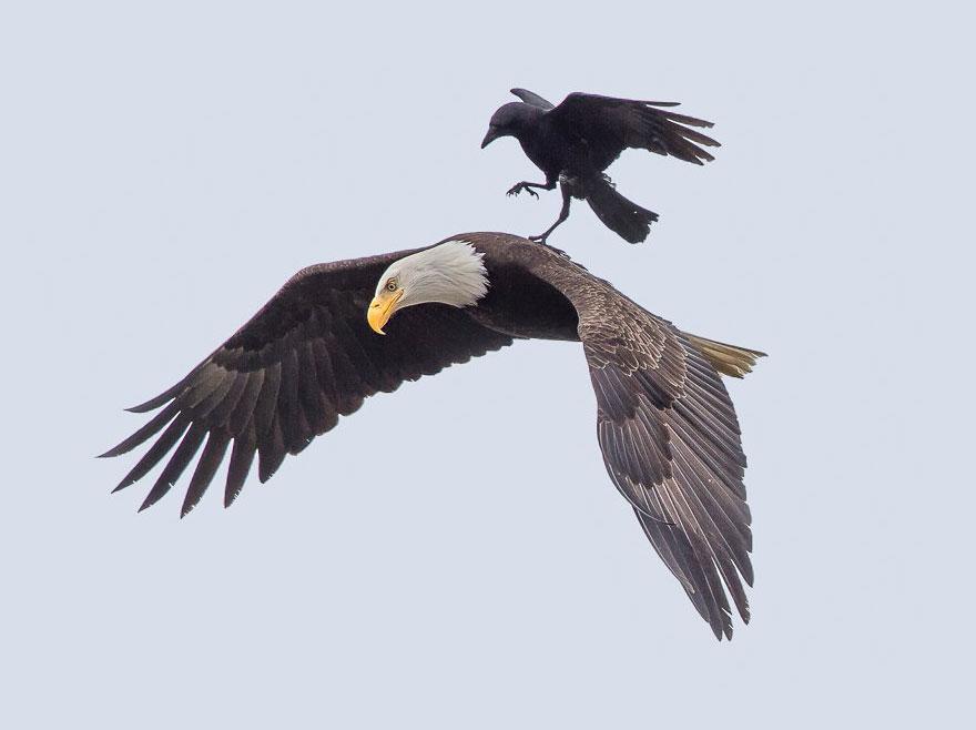 Corvo pega carona nas costas de uma águia (1)