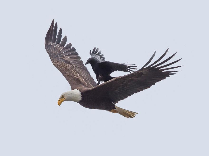 Corvo pega carona nas costas de uma águia (2)