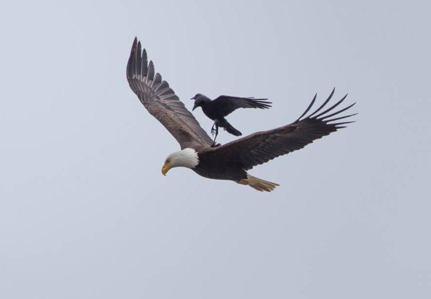 Corvo pega carona nas costas de uma águia (4)