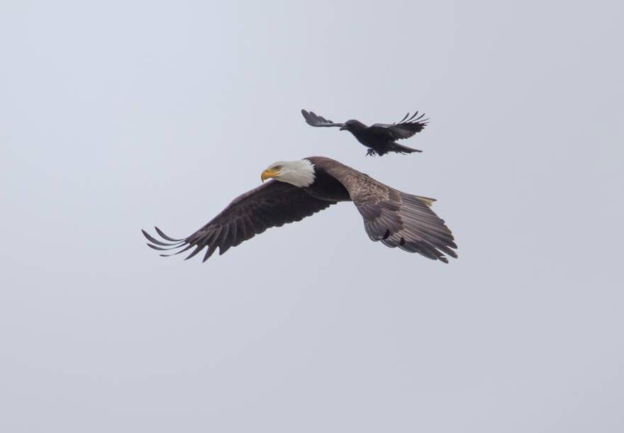 Corvo pega carona nas costas de uma águia (5)