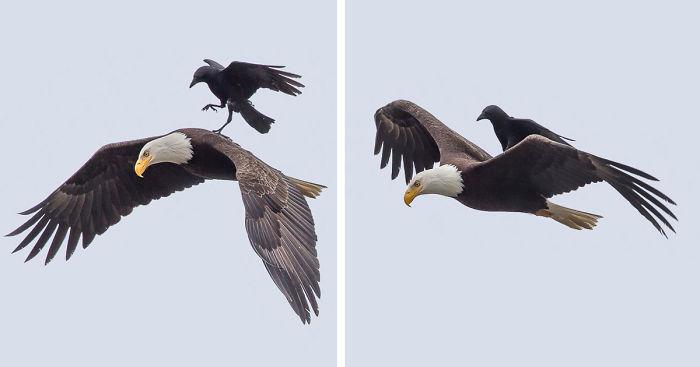 Corvo pega carona nas costas de uma águia (6)