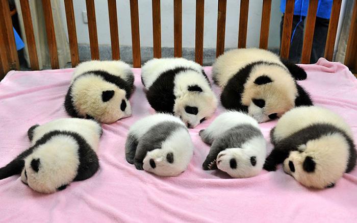 Creche para pandas na China é o lugar mais adorável da Terra (1)