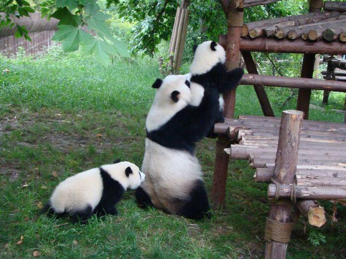 Creche para pandas na China é o lugar mais adorável da Terra (10)