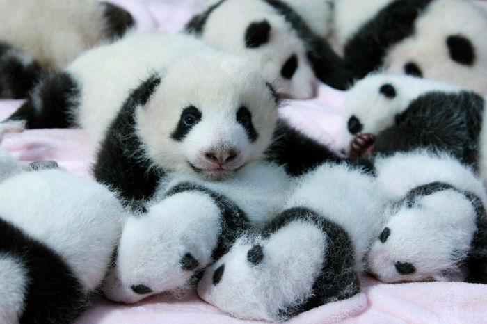 Giant panda cubs lie in a crib at Chengdu Research Base of Giant Panda Breeding in Chengdu