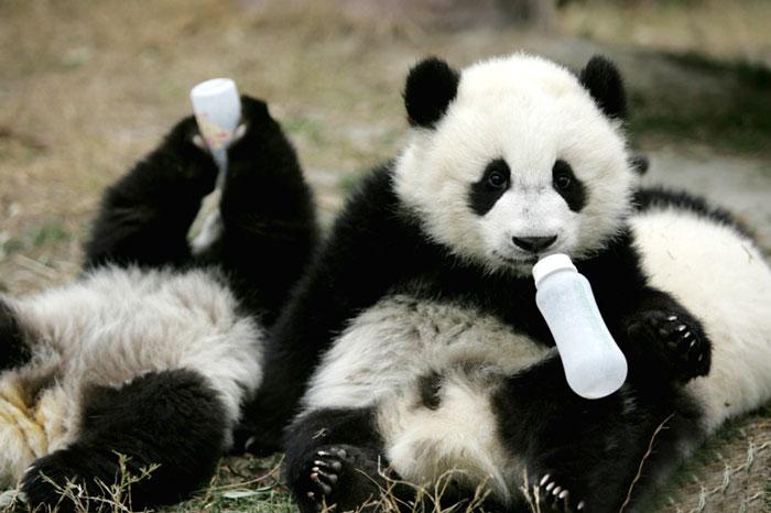Creche para pandas na China é o lugar mais adorável da Terra (12)