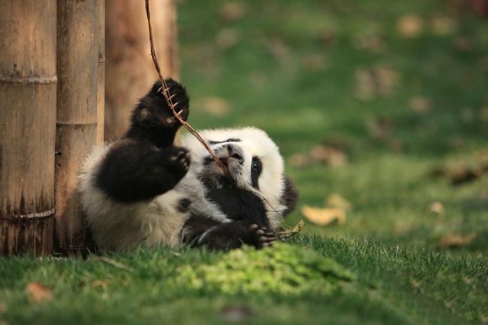 Creche para pandas na China é o lugar mais adorável da Terra (13)