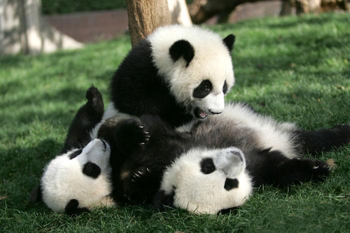 Creche para pandas na China é o lugar mais adorável da Terra (14)