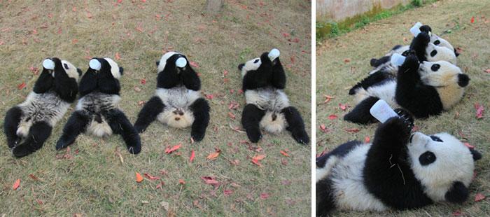 Creche para pandas na China é o lugar mais adorável da Terra (15)