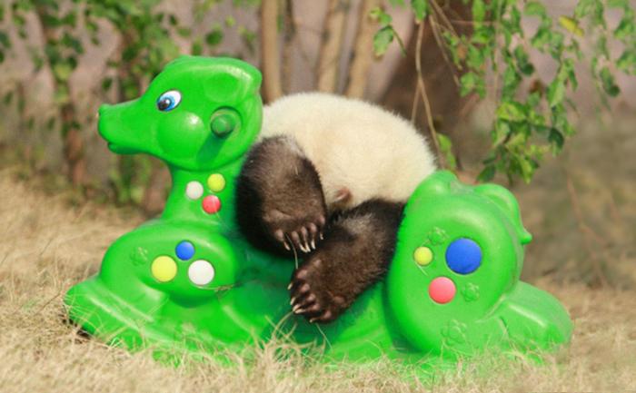 Creche para pandas na China é o lugar mais adorável da Terra (16)