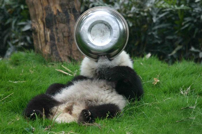 Creche para pandas na China é o lugar mais adorável da Terra (17)