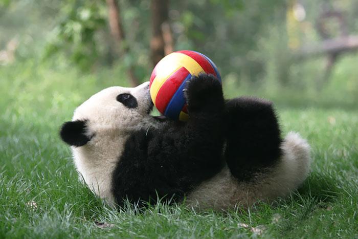 Creche para pandas na China é o lugar mais adorável da Terra (2)