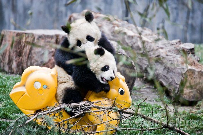 Creche para pandas na China é o lugar mais adorável da Terra (3)