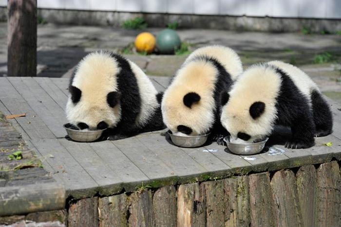 Creche para pandas na China é o lugar mais adorável da Terra (5)