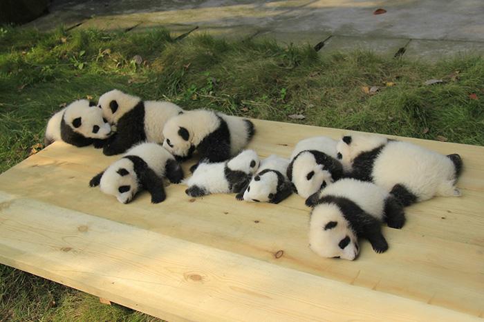 Creche para pandas na China é o lugar mais adorável da Terra (8)