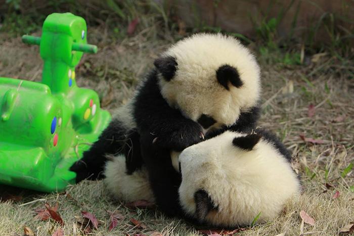 Creche para pandas na China é o lugar mais adorável da Terra (9)