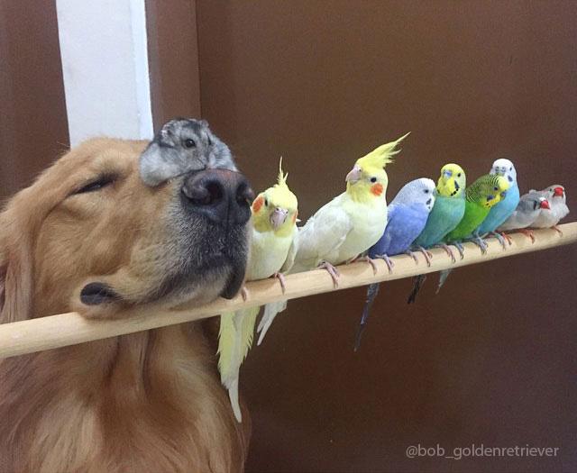 Conheça Bob, o Golden Retriever que é amigo de 8 pássaros e um hamster