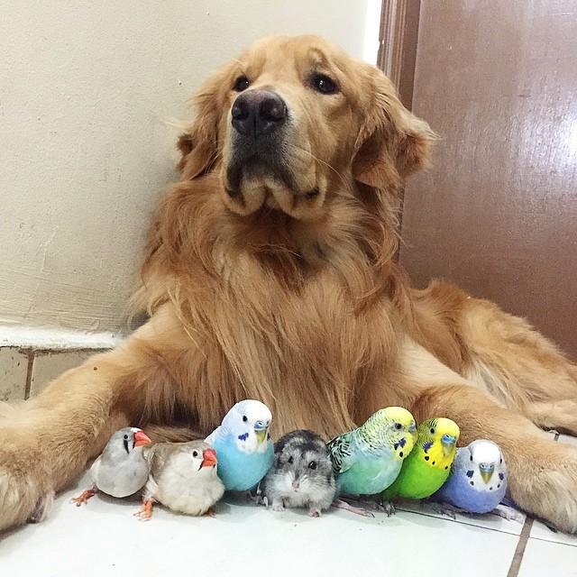Golden-Retriever-que-é-amigo-de-8-pássaros-e-um-hamster (16)