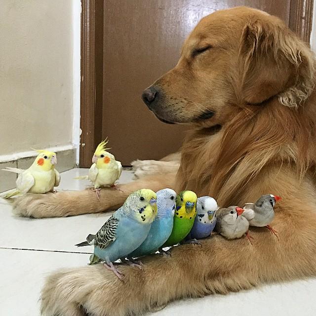 Golden-Retriever-que-é-amigo-de-8-pássaros-e-um-hamster (2)