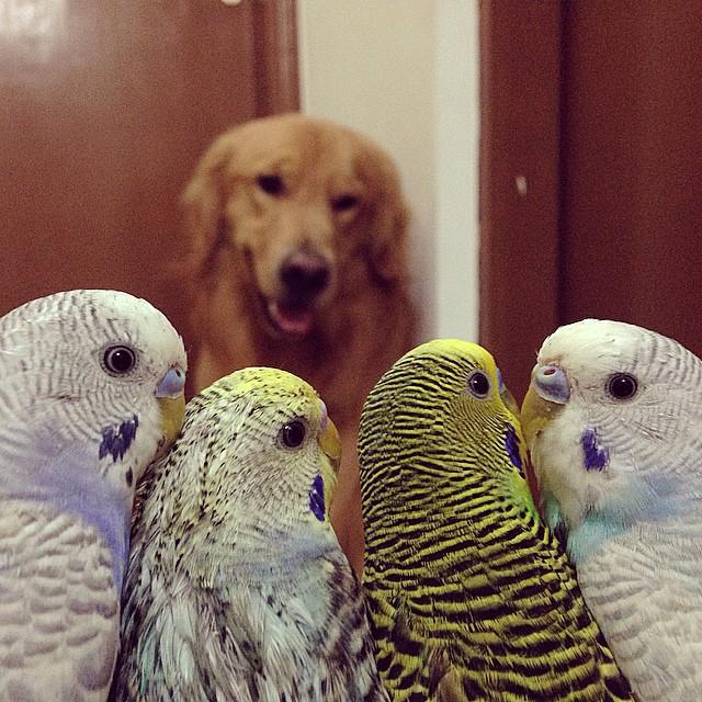 Golden-Retriever-que-é-amigo-de-8-pássaros-e-um-hamster (8)