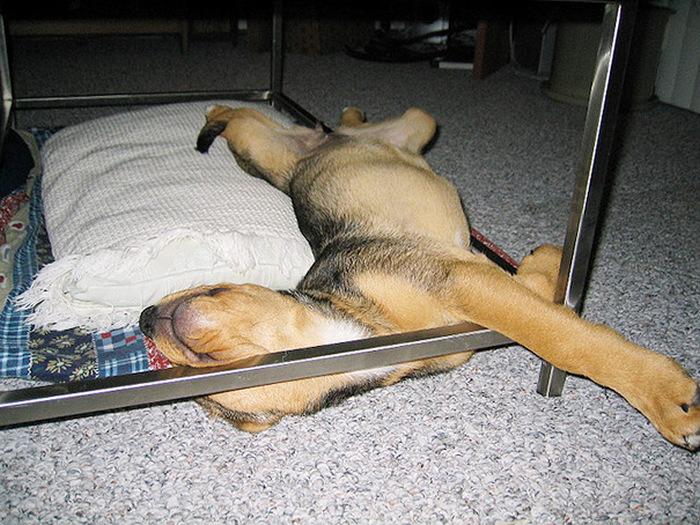 filhotes-de-cachorro-dormem-em-qualquer-lugar (18)