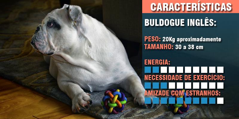 cachorros para apartamento - buldogue inglês