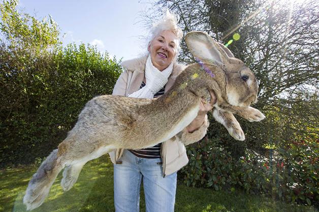 Conheça Darius, o maior coelho do mundo