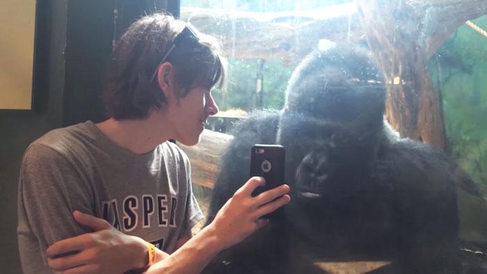 Este gorila adora ver fotos no celular